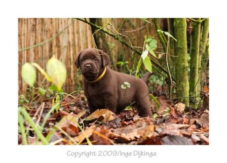 Labrador Retriever, fokker: Hilda Nomden Tweede Dwarsdiep 31 Gasselternijveensemond. 0599-651799